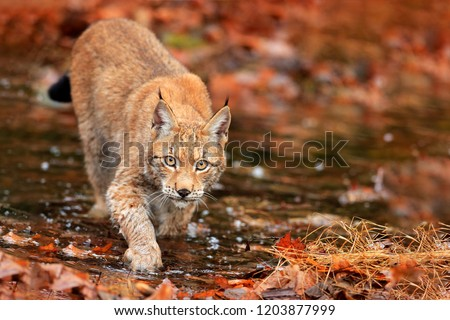Lynx walking in orange leaves with water. Wild animal hidden in nature habitat, Germany. Wildlife scene from forest. Lynx in autumn vegetation in the wood. Beautiful wild cat, face portrait. #1203877999
