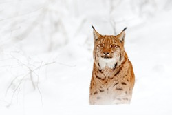 Lynx walking, wild cat in the forest with snow. Wildlife scene from winter nature. Cute big cat in habitat, cold condition.  Snowy forest with beautiful animal wild lynx, Germany. Cat, face portrait.