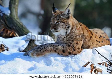 Lynx winter walks in the snow