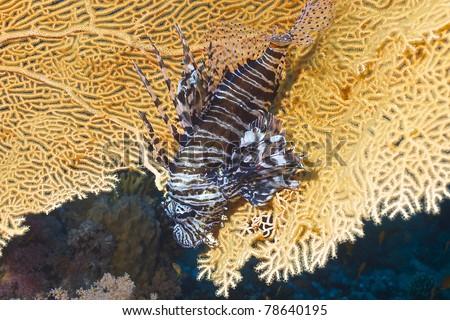 Lyon fish (Pterois volitans) of Red Sea, Hurhgada, Egyptia.