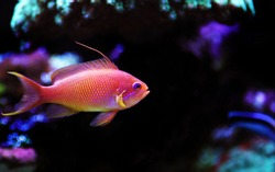 Lyretail Anthias coral fish - (Pseudanthias squamipinnis)