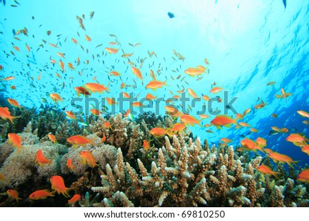 Lyretail Anthias fish on a tropical coral reef with hard corals