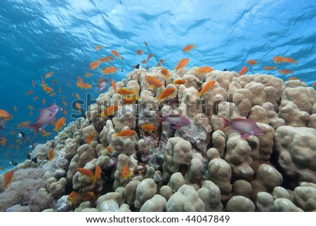 Lyretail anthias (pseudanthias squamipinnis), Wide angle shot of school close to the protection of the coral reef. Gulf of Aqaba, Red Sea, Egypt.