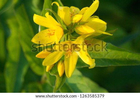 Lysimachia vulgaris, yellow loosestrife or loosestrife garden, is a species of herbaceous perennial flowering plants in the family of Primulaceae. It is native to wetlands #1263585379