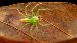 Lyssomanes viridis, commonly known as themagnolia green jumper, is a species ofjumping spiderof the genusLyssomanes. This spider is a family of Salticidae.
