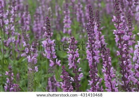 Free photos lythrum virgatum dropmore purple small pink purple lythrum virgatum dropmore purple small pink purple flowers on tall stems mightylinksfo