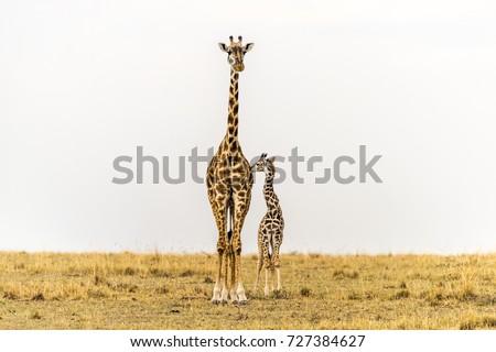 Maasai Giraffe Mother & newborn calf in grasslands. Massai Mara National Reserve, Kenya, Africa. Savannah landscape.Copy space in sky.Two giraffes close together.Family. Mother, baby, cow, calf. Love.