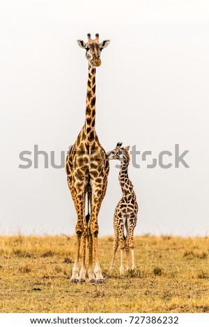 Maasai Giraffe Mother & newborn calf in grasslands. Massai Mara National Reserve, Kenya, Africa. Savannah landscape. Copy space in sky. Two giraffes close together.Family. Mother, baby, cow, calf.