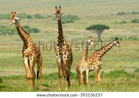 Maasai giraffes, Maasai Mara Game Reserve, Kenya #393136237