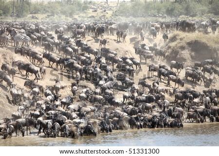 Maasai Mara Wildebeest Migration Safari, the Seventh Wonder of the world.
