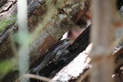 Mabuya reptile looking outside, Reptile inside of wooden, golden reptile