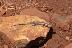 Mabuya skink lizard of Brazil