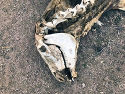 Macabre image showing carrion of dead wild donkey decomposing in desert with skeletal remains of skull and neck bones