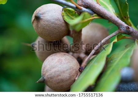 Macadamia integrifolia Macadamia Nuts on tree Bauple nut Queensland nut Nut oak in Plantation