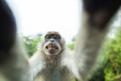 Macaque is showing teeth on camera