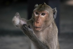 Macaque Monkey portrait is handicapped in  tropical forest , southeast asia thailland