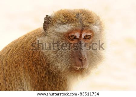 Macaque on Ao Nang Beach, Krabi, Thailand