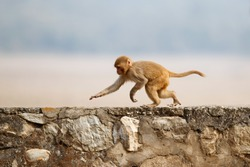 Macaque rhesus on the wall with beautiful blurry background. Cheeky monkey in the city area. Wildlife scene with danger animal. Hot weather in India. Macaca mulatta.