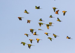 Macaw and Sun Flock of flying in the sky and enjoy.