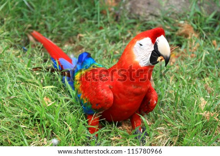 Macaw coloe red on the floor