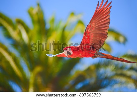 Macaw in free flight in exotic birds show at Palmitos Park in Maspalomas, Gran Canaria, Spain