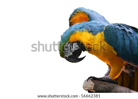Macaw or parrot with yellow and blue feathers