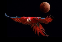 Macaw parrot bird colorful is flying on black background and blurred moon.