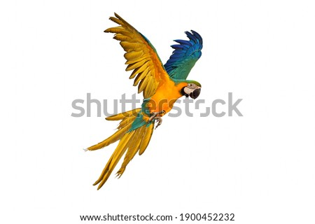 Macaw parrot flying isolated on white background Foto stock ©