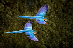 Macaw parrot in flight. Big blue Ara ararauna in the dark green forest habitat in Pantanal, Brazil. Action wildlife scene from South America. Bird in the tropic green forest. Macaw in the habitat.