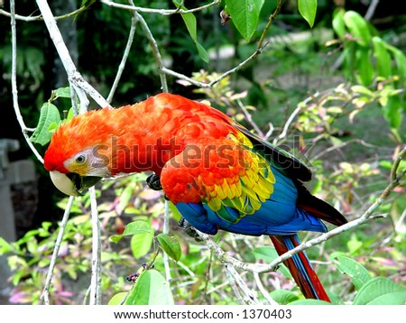 Macaw parrot in Peruvian rainforests