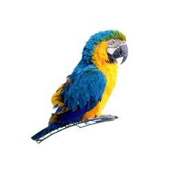 Macaw parrot isolated on white background. Portrait colorful blue and yellow Ara parrot on cage.