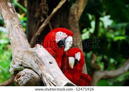 macaw parrots