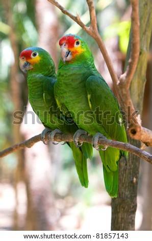Macaws parrots couple in Xcaret park. Mexico.