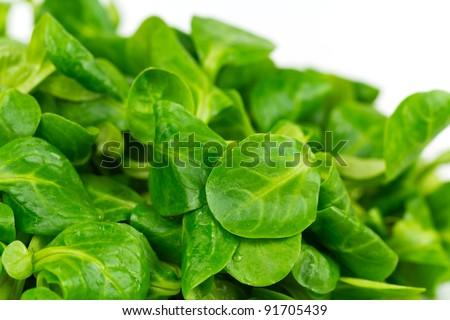 mache ,Valerianella locusta,corn salad,lamb's lettuce