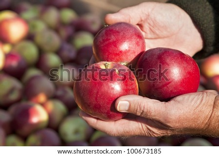 MacIntosh apple  harvest on the farm.