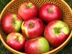 Macintosh Apples in Basket