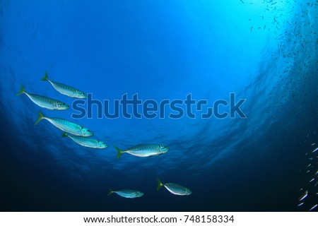 Mackerel fish in ocean #748158334