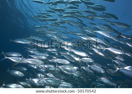 mackerel school feeding