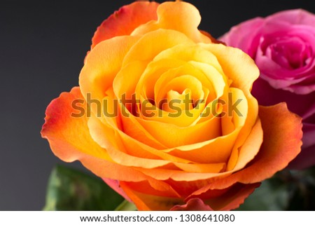 Mackro roses on a dark background. #1308641080