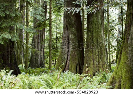MacMillan Provincial Park is a provincial park on Vancouver Island in British Columbia, Canada. The park is home to a famous, 157 hectare stand of ancient Douglas-fir, known as Cathedral Grove. #554828923