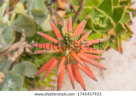 macri shot of an aloe brevifolia Stock photo ©