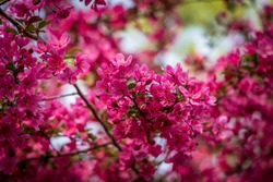 Macro and Close-Up Photos of Cherry Blossoms, Red Buds, and other flowering trees in the DC and Maryland region, this spring.