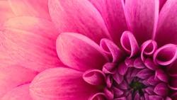macro and close up shot of dahlia flower, beautiful dahlia flower