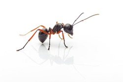 macro ant isolated on white background