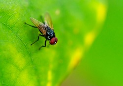 Macro Asia fly on green leaf. Close up to black body and red eyes fly insect. Selected focus on red eyes.