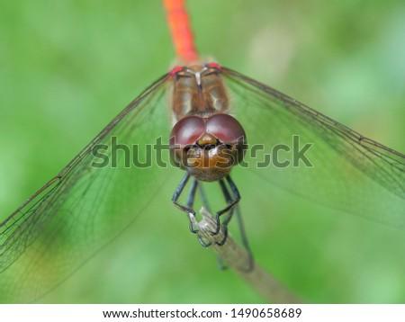 Macro- beautiful macro Dragonfly- red detail