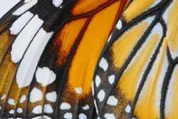 Macro Butterfly wing background,  Danaus chrysippus