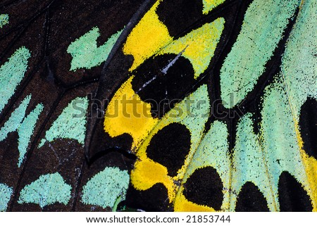 Macro Butterfly Wing Male Cairns Birdwing Butterfly