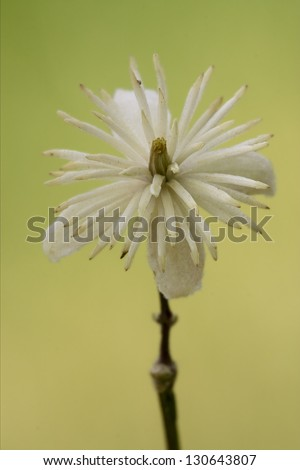 macro close of  a yellow white leguminose  in green background