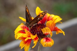 Macro close-up detail view of beautiful skipper butterfly on natural red orange wild flower. Nature closeup background